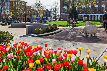 Uptown scene with tulips